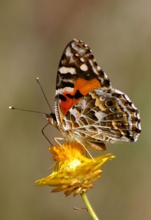 Australian Painted Lady Butterfly