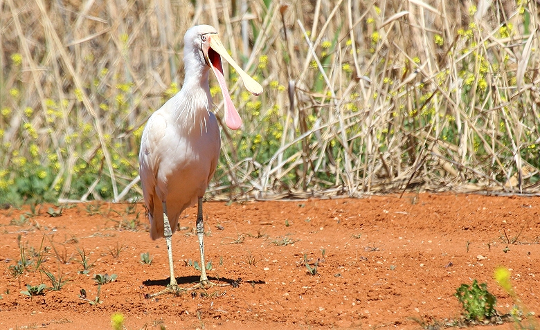 Talking Spoonbill