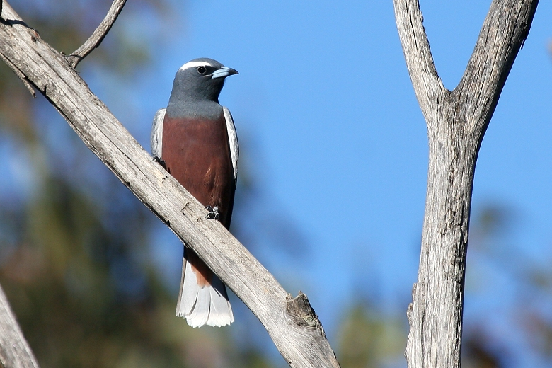 White-browed Woodswallow # 2