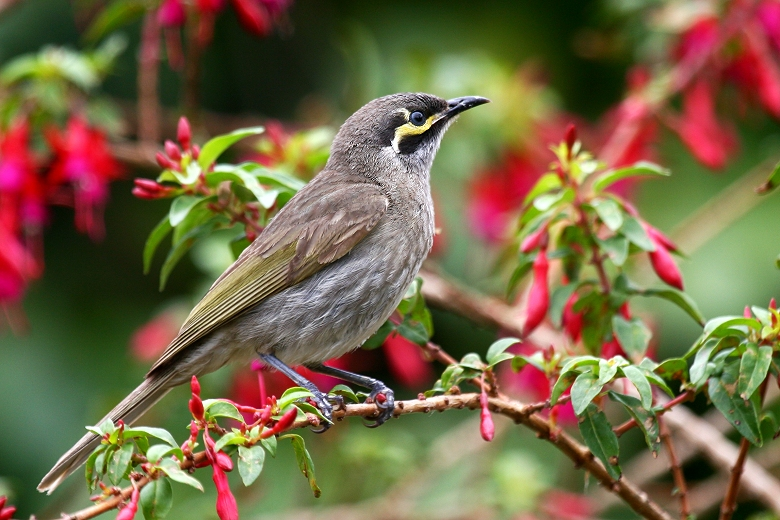 David Kleinert Photography | Yellow-faced Honeyeater ...