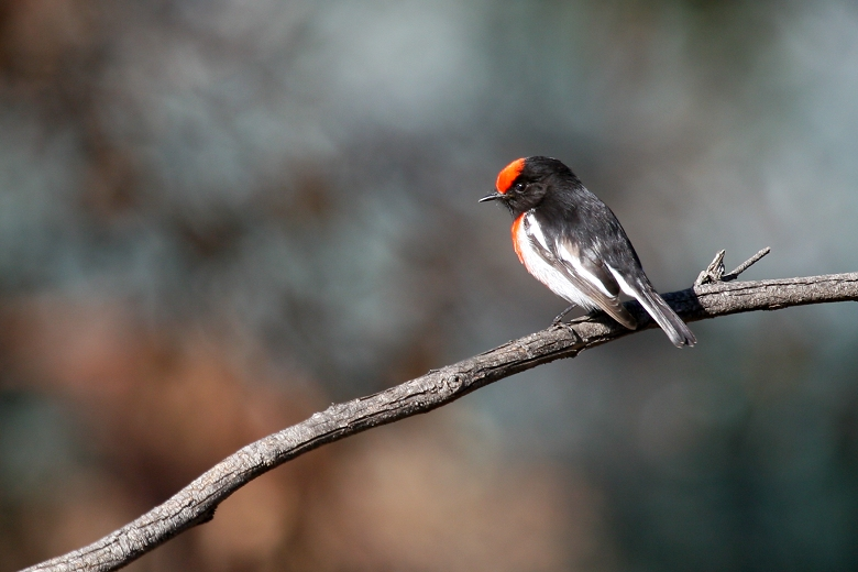 Red-capped Robin # 2