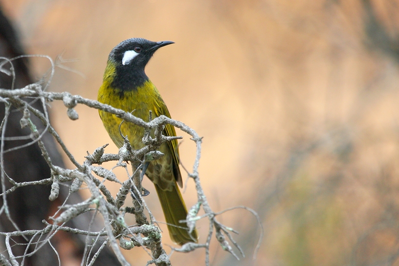 White-eared Honeyeater # 2