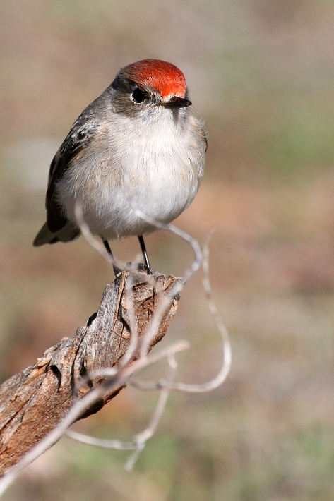 Female Red-capped Robin