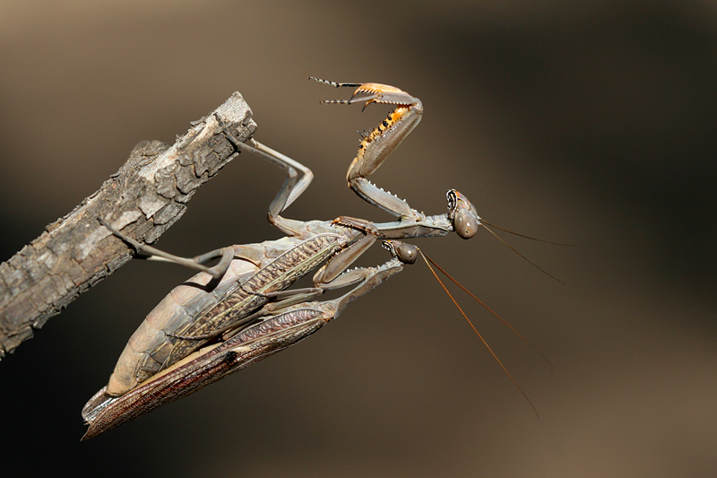Mating Mantids