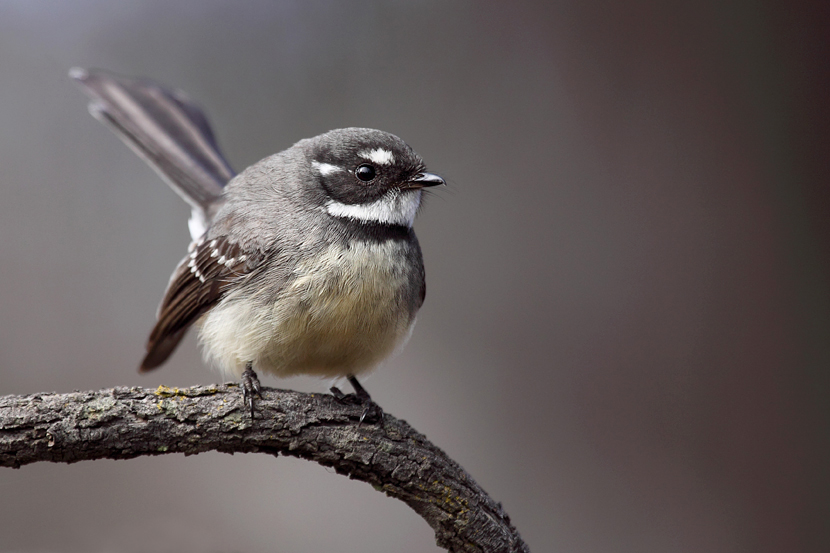 Cheeky Grey Fantail