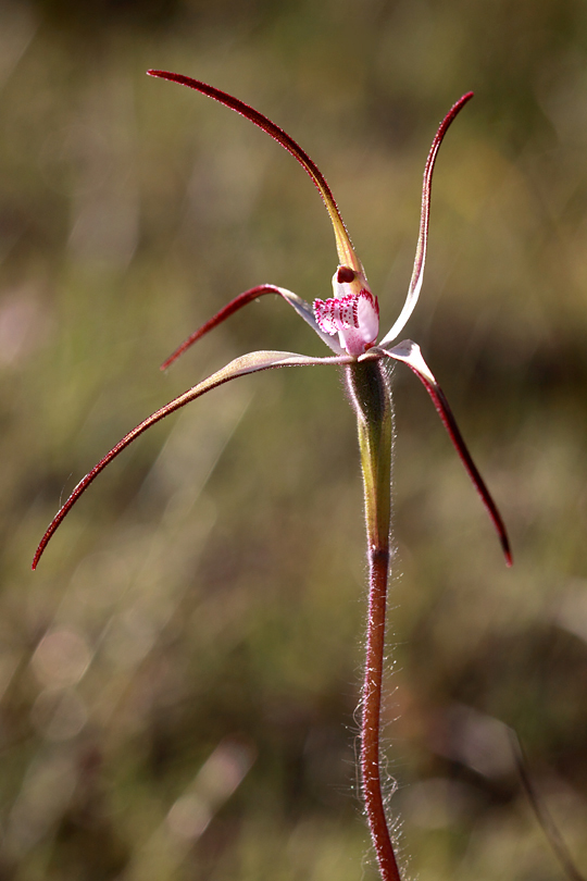 Candy Spider-orchid