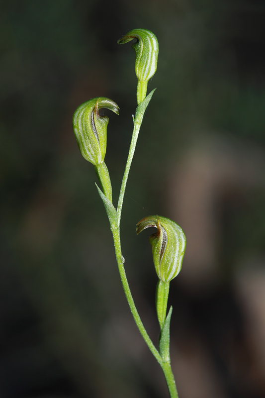 Tiny Greenhood Orchid