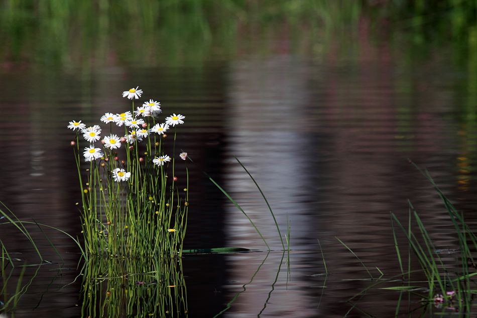 Flooded Daisy