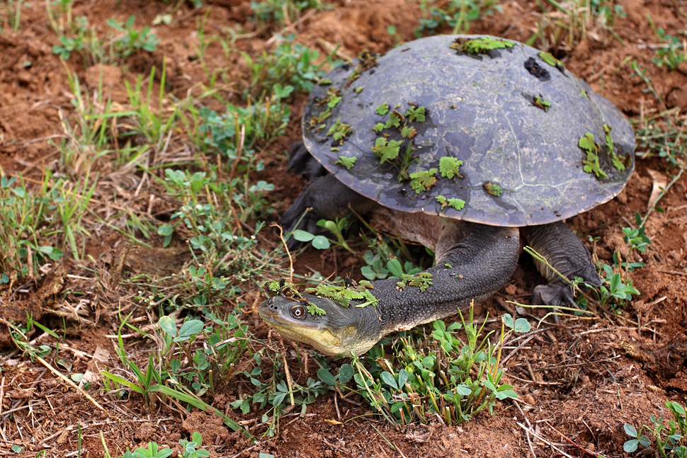 Broad-shelled Turtle