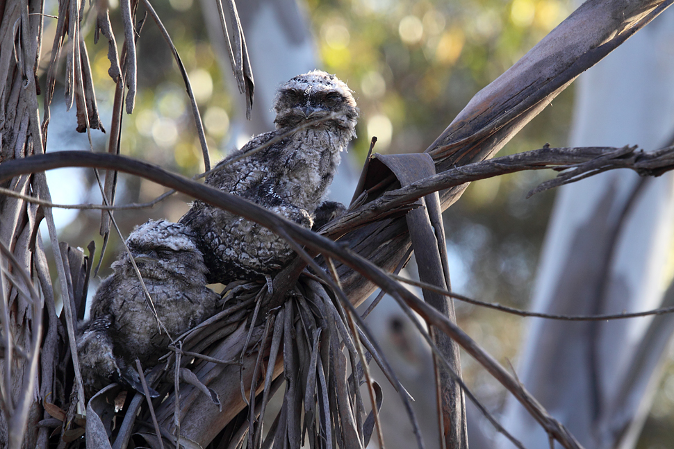 Sleeping Tawny Frogmouths