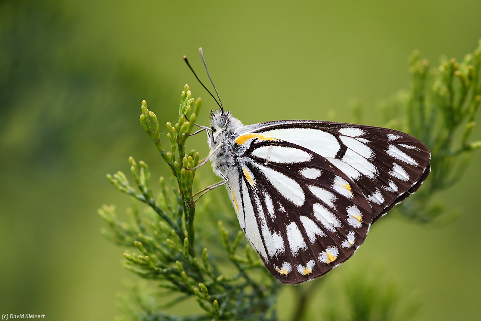 Caper White Butterfly