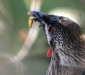 Red Wattle Bird