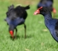 Curious Swamphen