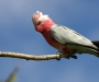 Hold on Galah!