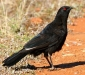 White-winged Chough