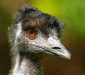 An inquisitive Emu