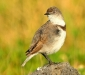Female White-fronted Chat