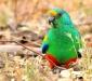 Male Mulga Parrot