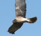 Swamp Harrier
