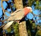 Hungry Galah