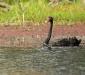 Black Swan & baby