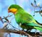 Male Superb Parrot