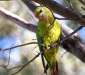 Female Superb Parrot