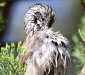 Striped Honeyeater # 2