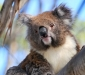 Cape Otway Koalas