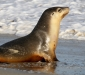 Australian Sea-lion