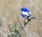 White-winged Fairy-wren