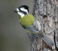 Crested Shrike-tit # 2