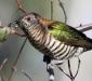 Shining Bronze-cuckoo # 2
