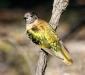 Shining Bronze-cuckoo # 3
