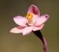 Salmon Sun Orchid
