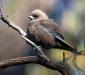 Dusky Woodswallow # 2