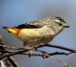 Spotted Pardalote # 2