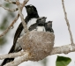 Willie Wagtail family