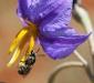 Bush Tomato Bee