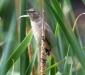 Clamorous Reed-warbler