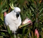 Sulphur-crested Cockatoo # 2