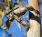 Noisy Friarbird # 2