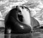 Australian Sea-lion # 2