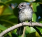 Grey Fantail # 2