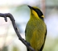 Yellow-tufted Honeyeater # 2