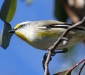 Striated Pardalote # 2
