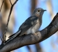 Fan-tailed Cuckoo # 2