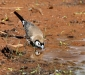 Double-barred Finch # 2