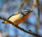 Spotted Pardalote # 3