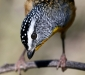 Spotted Pardalote # 4